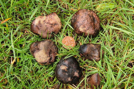 Growing Truffles In The United States | GMOs & FOOD, WATER & SOIL MATTERS | Scoop.it