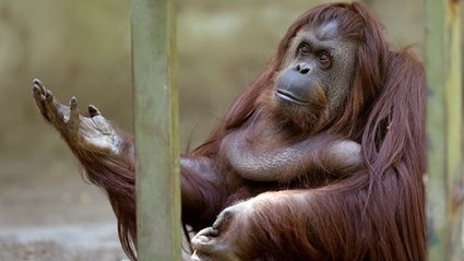 Orangutan Declared To Have Basic Legal Rights In Argentina | enjoy yourself | Scoop.it