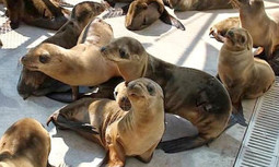 #Overfishing to Blame for #Sardine #Shortage and #Starving #SeaLions | Rescue our Ocean's & it's species from Man's Pollution! | Scoop.it