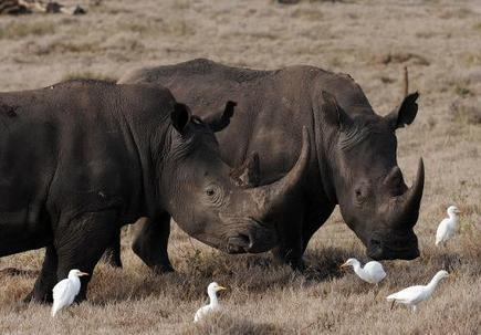 Kenya poachers kill four rhinos in worst attack in 26 years   Sustain Our Earth   Scoop.it