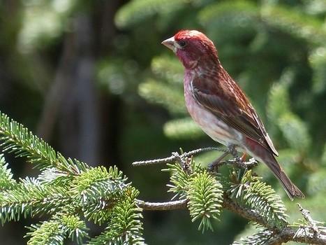 roselin - Photo de passereau du Canada : Roselin pourpré - Haemorhous purpureus - Carpodacus purpureus - Purple Finch | Fauna Free Pics - Public Domain - Photos gratuites d'animaux | Scoop.it