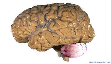 Researchers Develop an Artificial Cerebellum that Enables Robotic Human-like Object Handling | Post-Sapiens, les êtres technologiques | Scoop.it
