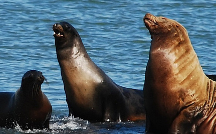 Sea Lion With Gunshot Wound Crosses 8 Lanes of Traffic | This Gives Me Hope | Scoop.it