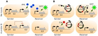 Multicellular Computing Using Conjugation for Wiring | SynBioFromLeukipposInstitute | Scoop.it