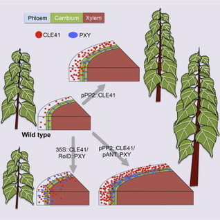 Wood Formation in Trees Is Increased by Manipulating PXY-Regulated Cell Division: Current Biology | Hevea brasiliensis | Scoop.it