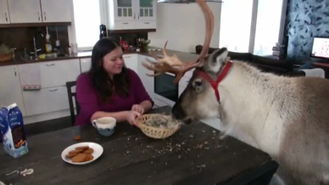Video: Meet Aatu, Finland's friendly, domesticated reindeer | World News | Scoop.it