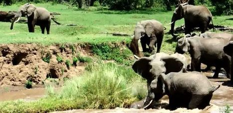 Baby Elephant Swept Down Powerful River, Momma Rushes To His Rescue. | Funny, Inspirational, Amazing | Scoop.it
