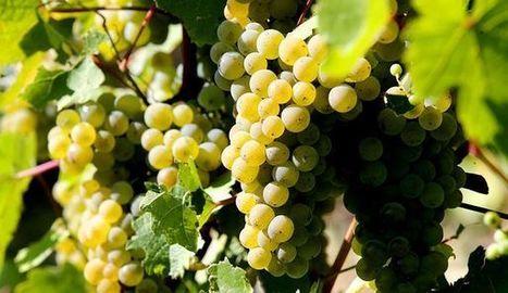 Les déficits de récolte en champagne pourront être compensés par le déblocage des vins de réserve | Le Vin et + encore | Scoop.it
