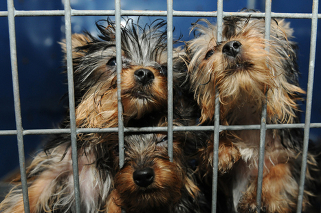 Pet store owner claims puppies in arson case, hopes to donate them to rescue ... - Las Vegas Review-Journal | CharlieDogs Loves a Rescue Pet! | Scoop.it
