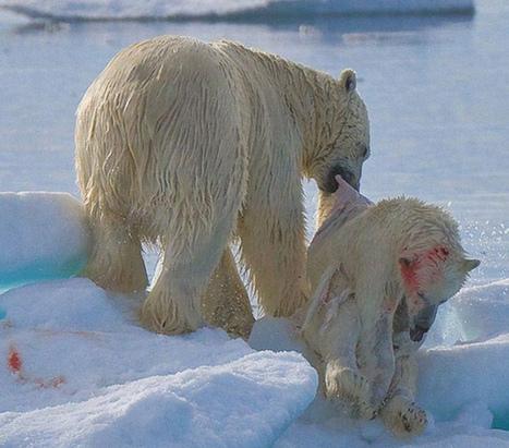Impresionantes imagenes: el deshielo del Ártico produce canibalismo   Noticias de ecologia y medio ambiente   ecologia   Scoop.it
