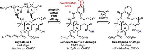 Inhibition of Chikungunya Virus-Induced Cell Death by Salicylate-Derived Bryostatin Analogues Provides Additional Evidence for a PKC-Independent Pathway | Natural Products Chemistry Breaking News | Scoop.it