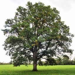 British Government Racing to Stop English Oak Tree From Being Wiped Out - Garden Toolbox News   Gardening Galore   Scoop.it