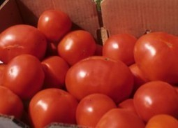 Tomato growers take note, late blight is early this year | CALS News Center | North Carolina Agriculture | Scoop.it