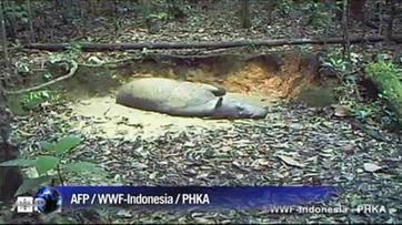 Des rhinocéros de Sumatra filmés à Bornéo suscitent l'espoir | Biodiversité & Relations Homme - Nature - Environnement : Un Scoop.it du Muséum de Toulouse | Scoop.it