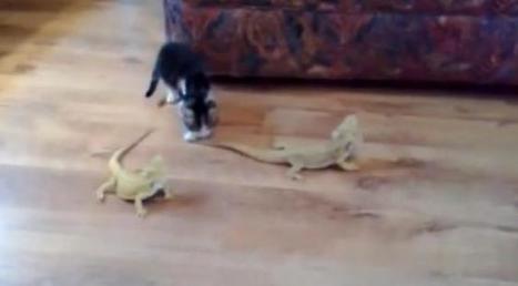 Un chaton contre deux lézards : le combat de siècle (ou pas) | Les chats c'est pas que des connards | Scoop.it