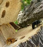 Carpenter Bee | Wood Destroying Insect | Entomology | Organic Farming | Scoop.it