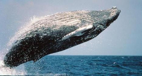 Bacteria on Whale Skin Tell a Tale of Health and Sickness | All about water, the oceans, environmental issues | Scoop.it