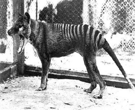 Is the Tasmanian Tiger Alive? - Discovery News | Biology and global classes | Scoop.it