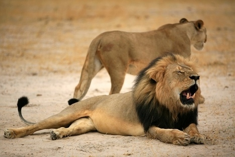 Charismatic lion's death highlights struggles of conservation scientists | GarryRogers NatCon News | Scoop.it