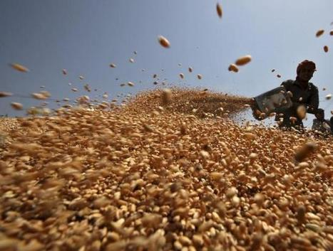 Government policy may be biggest threat to Indian wheat | WHEAT | Scoop.it