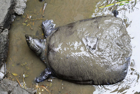 Famous Giant Turtle Dies—Only Three Left on Earth #extinction | Messenger for mother Earth | Scoop.it