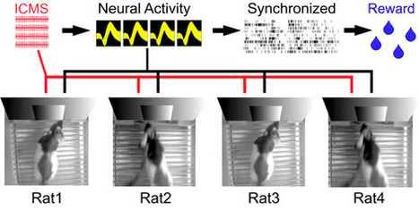 Neuroscientists create organic-computing 'Brainet' network of rodent and primate brains — humans next | KurzweilAI | Science And Wonder | Scoop.it