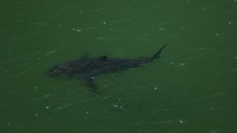 Great white shark moves closer to Brevard County coast | Property Protection Brevard, FL | Scoop.it