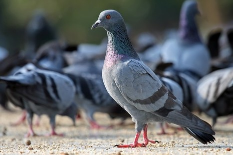 A Complete Guide To Humanely Solve Your Pigeon Proble | Home Improvment, Business | Scoop.it