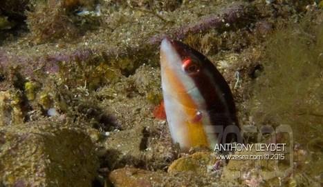 INSTAQUATIC #06 : le réveil de la girelle - Le Blog de la Plongée Bio | Biologie marine | Scoop.it