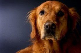 Best Dog Breeds for Families with Young Children | Natural Pet Care | Scoop.it