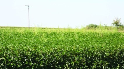 Roundup Ready Xtend: Silver Linings In Label Delays For Monsanto | CropLife | Grain du Coteau : News ( corn maize ethanol DDG soybean soymeal wheat livestock beef pigs canadian dollar) | Scoop.it