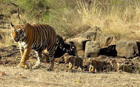 Wildlife Photography Tour in Ranthambore National Park | Ranthambore National Park | Travel Photography | Scoop.it