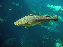 Mismanagement of the North Sea cod by the Council of the European Union - OceanRep | In Deep Water | Scoop.it