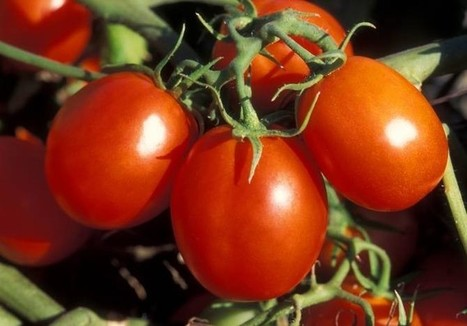Tomates modificados genéticamente para mejorar el colesterol en quien los coma | La célula | Scoop.it