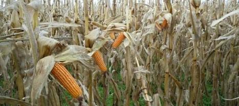Aumentan el área de siembra de maíz a 3 millones de hectáreas | iRiego | Scoop.it