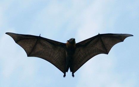 Things you probably don't know about bats - Washington Post | Bat Biology and Ecology | Scoop.it