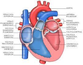 Naturalment: Parts i animació del cor   Biologia Humana   Scoop.it