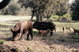 Coffret Cadeau Week End Chasse Au Sanglier - séjour en Languedoc Roussillon Aude pays cathare - agence Sudfrance.fr   Tourisme et chasse   Scoop.it