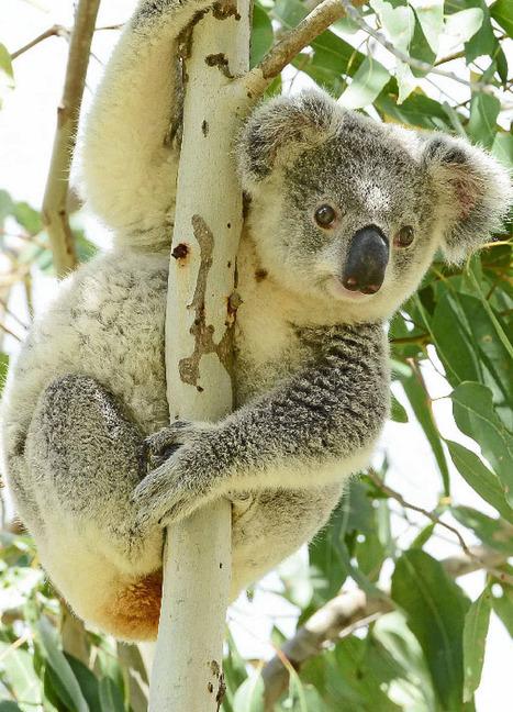 Government grant boosts koala rescue program | Government Grants | Scoop.it