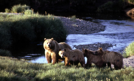 If grizzly bears returned, would Californians be safe? | One World Enviromentalism | Scoop.it