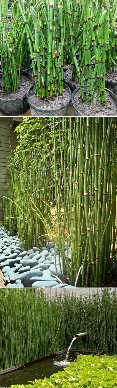 Equisetum Horsetail Plants | ACANTO Green News | Scoop.it