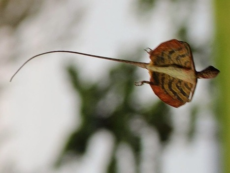 Flying Dragons Pretend to Be Leaves to Avoid Predation | Strange animals | Scoop.it