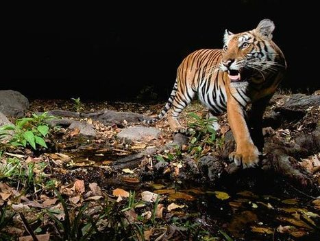 Tigers Making a Comeback in Parts of Asia | Year 4 Geography: Saving the animals | Scoop.it