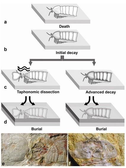 La tête et les jambes… Des premiers arthropodes !   EntomoScience   Scoop.it