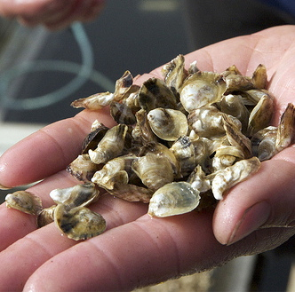 Troubled waters: Farmers and scientists work together to save oysters | On the Plate | Scoop.it