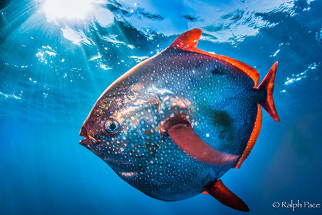 Opah – The First Fully Warm-Blooded Fish | Geology | Scoop.it