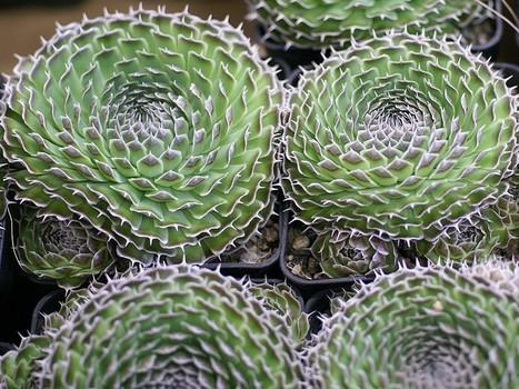 Photo de Plante succulente : Orostachys spinosa - Cotyledon spinosa - Sedum spinosum   Cactus and Succulents : Photos de cactus et de plantes grasses gratuites et libres de droits   Scoop.it