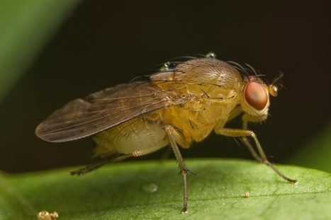 Geneticists evolve fruit flies with the ability to count   Gavagai   Scoop.it