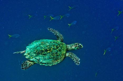Sea Turtles: Raja Ampat's Ocean Nomads | Agua | Scoop.it