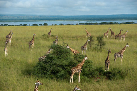 Africa May Have New Giraffe Species—And This Could Help Protect Them | Biodiversity protection | Scoop.it